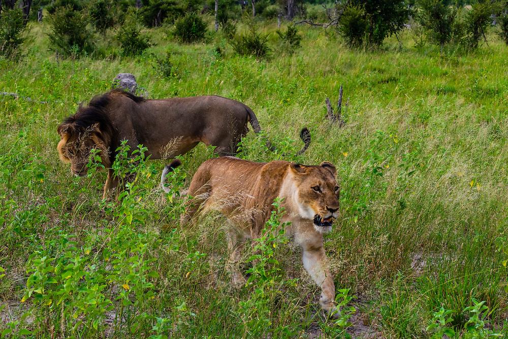 Lions mating, Kwando Concession, Linyanti Marshes, Botswana.