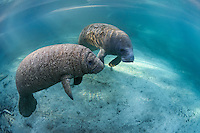 Manatee calves often have wrinkly skin folds. This male calf has lots of wrinkles and he is fat! His mom feeds him well. Here is is playing near an adult male manatee who didn't seem to mind having the curious little guy around.  Florida manatees come to Three Sisters Springs during the cooler months to rest and stay warm. Taken in the Crystal River National Wildlife Refuge, Kings Bay, Crystal River, Citrus County, Florida USA. Florida manatee, Trichechus manatus latirostris, a subspecies of the West Indian manatee