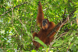 A critically endangered wild male Sumatran orangutan (Pongo abelii) rests in the shade of a tree, Bukit Lawang, Sumatra, Indonesia