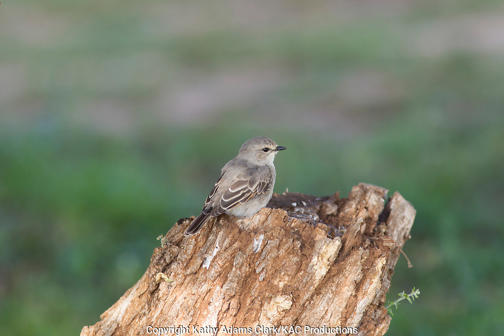 Unknown bird, Tarangire National Park, Manyara Region, Tanzania, Africa.