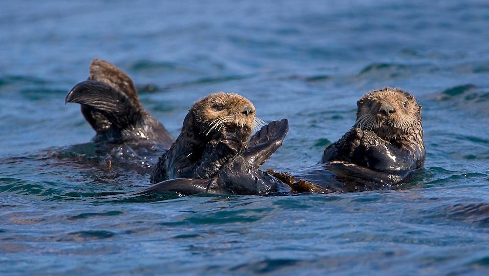 Sea Otters (Enhydra lutris) relaxing in Kodiak Island waters.