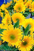 Bright yellow sunflowers for sale at a Farmers Market in San Francisco.