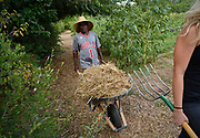 """mkb082217/metro/Marla Brose --  Mtendji Jackson Wilondja, pushes a wheel barrow full of hay to lay in rows of vegatables at Tres Hermanas Farm, August 22, 2017. Wilondja, originally from Congo, via a refugee camp in Tanzania, where he lived and raised a family for 20 years.  """"Albuquerque is good,"""" he said.  (Marla Brose/Albuquerque Journal)"""