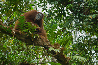 "Bornean Orangutan <br /> Wurmbii Sub-species<br /> (Pongo pygmaeus wurmbii)<br /> <br /> Unflanged adult male ""Ned""<br /> <br /> Gunung Palung Orangutan Project<br /> Cabang Panti Research Station<br /> Gunung Palung National Park<br /> West Kalimantan Province<br /> Island of Borneo<br /> Indonesia"
