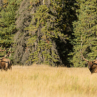 two agressive bull elk in meadow