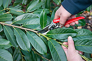 Tony Kirkham pruning Prunus laurocerasus (cherry laurel) with secateurs at RBG Kew