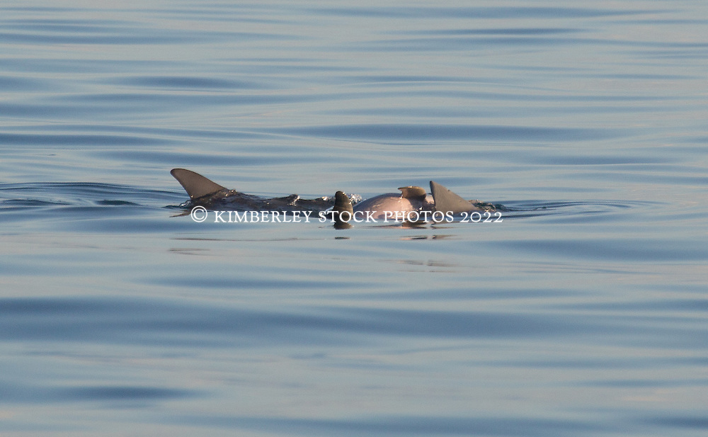 Four small dolphins off Broome's Cable Beach.