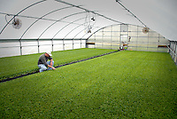 Extension agent looks over tobacco plants in a hyrdoponic greenhouse in Kinston. PHOTO BY ROGER WINSTEAD