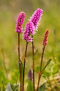 Pink Plumes (Polygonum bistorta) in Denali National Park in Interior Alaska. Summer. Afternoon.