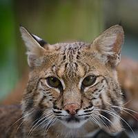 Bobcat-Temp