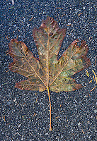 A dampend flattened Maple leaf on an asphalt pathway. Vancouver, BC, Canada.