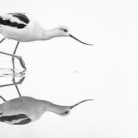 Recurvirostra americana, Aransas Bay near Rockport Texas, November 2018
