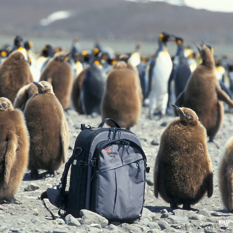 King penguin (Aptenodytes patagonicus), King penguins & yearling chicks, chick, Salisbury Plain, South Georgia, Antarctic region, K?nigspinguin, K?nigspinguine mit Jungen, S¸ggeorgien, Antarktische Region.