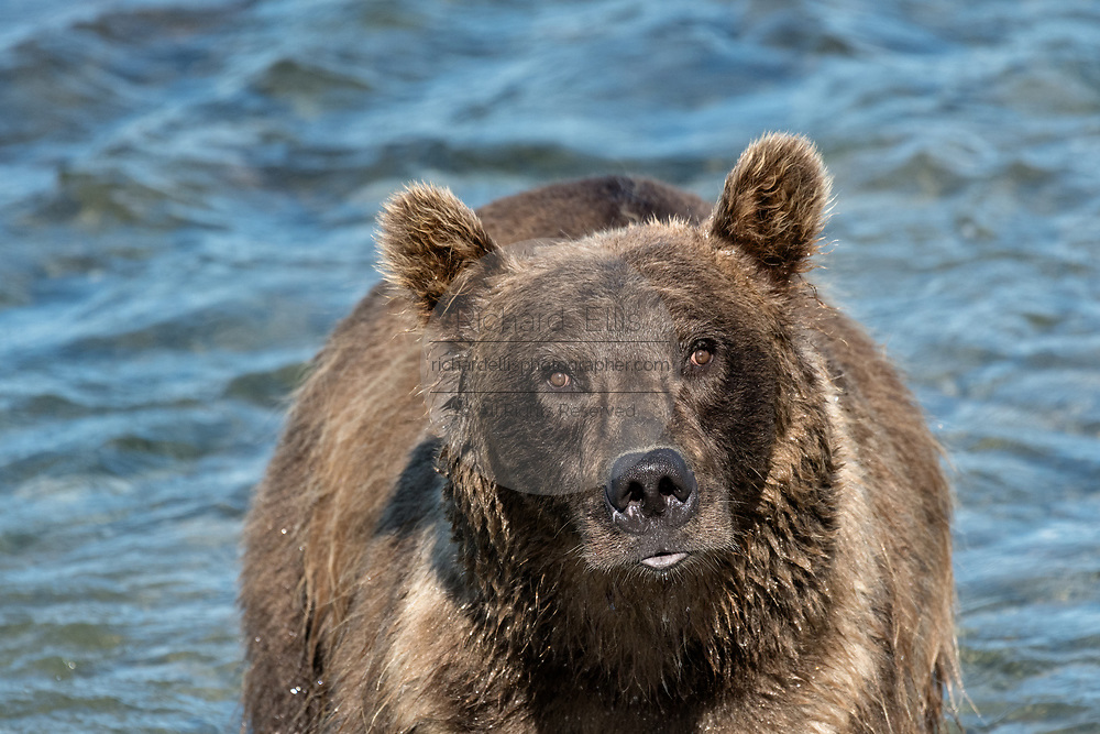 A Grizzly bear boar fishing for chum salmon in the upper McNeil River falls at the McNeil River State Game Sanctuary on the Kenai Peninsula, Alaska. The remote site is accessed only with a special permit and is the world's largest seasonal population of brown bears.