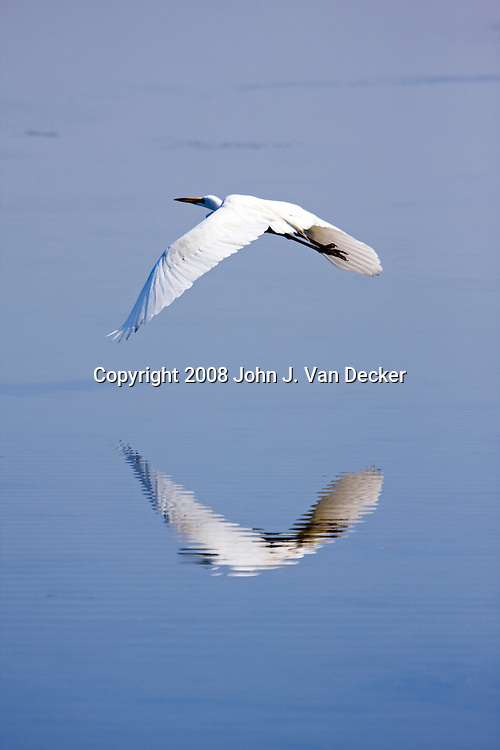 Great Egret, Ardea alba, flying over a salt marsh