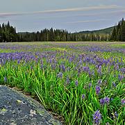 Camas field at Packer Meadows at Lolo Pass, Montana-Idaho border.