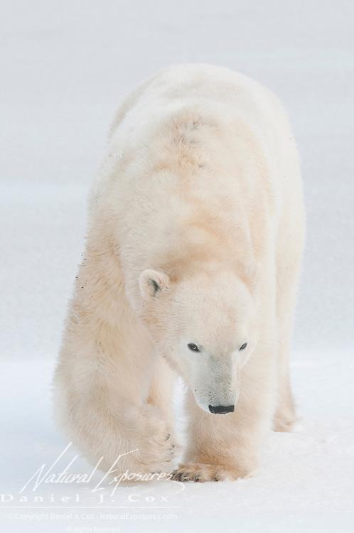 A large male polar bear near Cape Churchill. Hudson Bay, Canada.