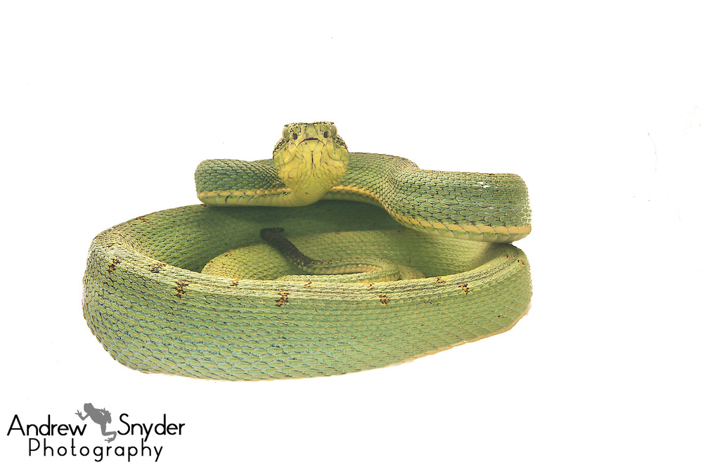 Bi-striped viper (Bothriopsis bilineata) - Chenapau, Guyana