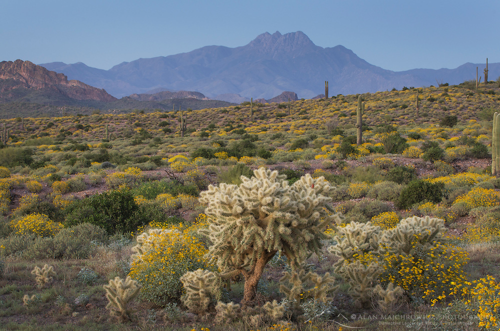 Evening over the Sonoran Desert and Superstition Mountains Arizona, yellow Brittlebush and Jumping Cholla (Cylindropuntia fulgida) in the foreground