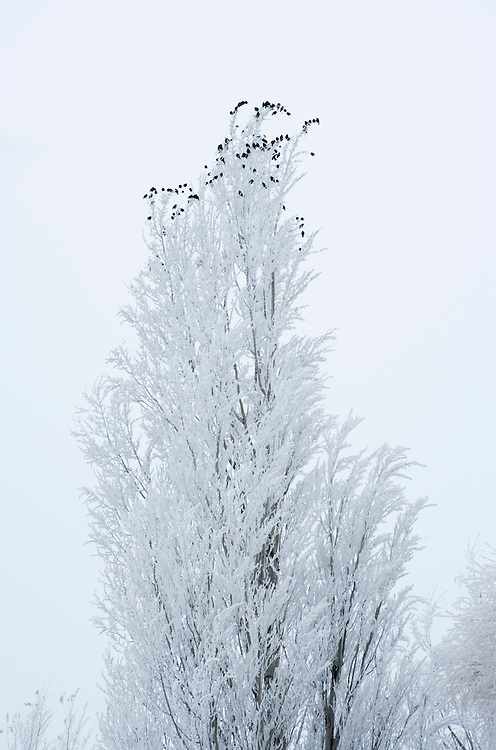 Birds perched in poplar tree covered in freezing fog Ellensburg Washington USA.