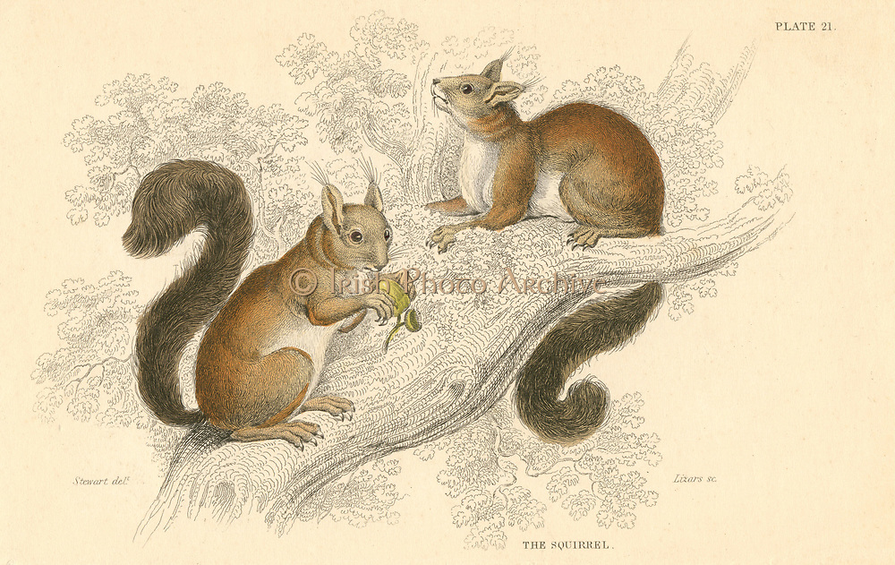 Red Squirrel (Sciurus vulgaris), tree-living rodent native to Europe and Asia. In Britain its range and numbers have diminished of the past 50 years because of competition from the Grey Squirrel (S. carolinensis) introduced from North America.    From 'British Quadrupeds', W MacGillivray, (Edinburgh, 1828), one of the volumes in William Jardine's Naturalist's Library series. Hand-coloured engraving.