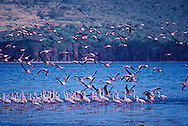 Flying Flamingoes, Lake Nakuru National Park, Kenya