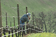 Positioning trellis for pinot noir vines, WillaKenzie Estate, Yamhill-Carlton AVA, Willamette Valley, Oregon