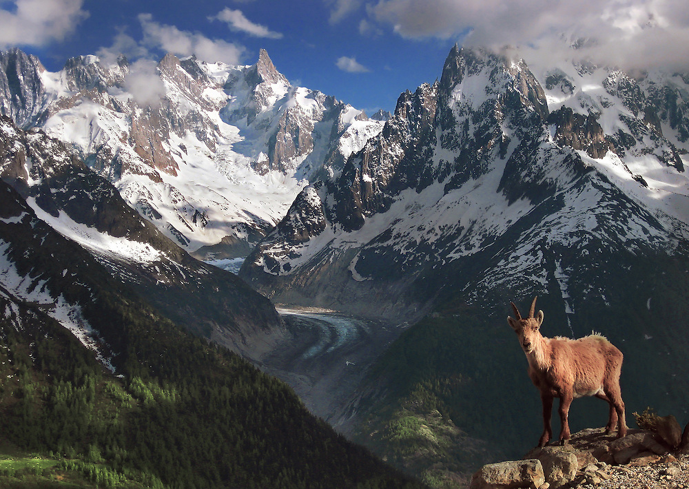 An Ibex in front of Mer de Glace in the Chamonix region. Taken with a small compact.