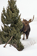 Survival is difficult for moose during Wyoming's long winter. These large ungulates live on pine needles and twigs as the snow begins to pile up, sometimes losing twenty five percent of their body weight during the winter months.