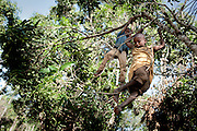 Boys climbing the trees to collect mango´s in the outskirts of a IDP camp in Zemio.The central African rep. has some of the world's worst child welfare indicators. The infant mortality rate is 112, and out of 1,000 children born in CAR, 171 will die before reaching the age of five. The five main child killers in CAR are malaria, diarrhoea, acute respiratory infections, malnutrition and measles – all preventable diseases. The Accelerated Child Survival and Development Strategy UNICEF is implementing aims to reach every newborn and child in every district with a set of priority interventions. Evidence shows that there are a number of known and affordable interventions that if implemented fully could prevent 63 per cent of current childhood mortality.