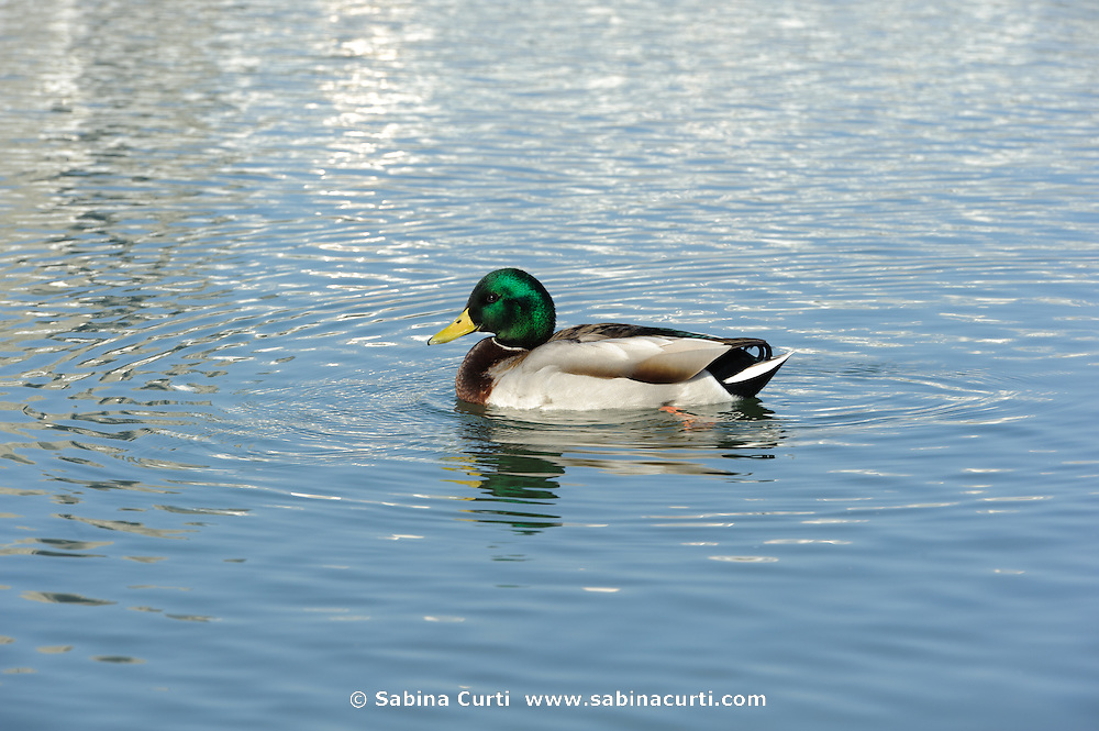 Male Mallard duck Humber Bay Park, Toronto Ontario