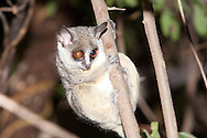 Lesser Bushbaby, Lesser Galago (Galago moholi)<br /> SOUTH AFRICA: Limopopo Province<br /> Warwick Tarboton's House near Nylstroom<br /> 8-Jan-2006<br /> J.C. Abbott