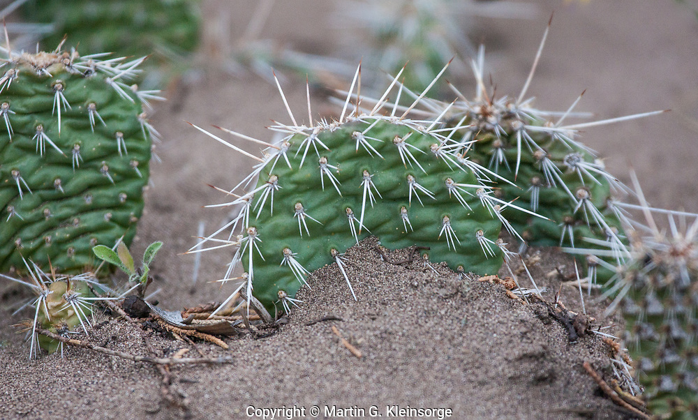 Large patches of Starvation pricklypear cactus (Opuntia polyacantha) thrive in the sandy soil of the San Luis Valley and the Great Sand Dunes National Park and Preserve.  Colorado.