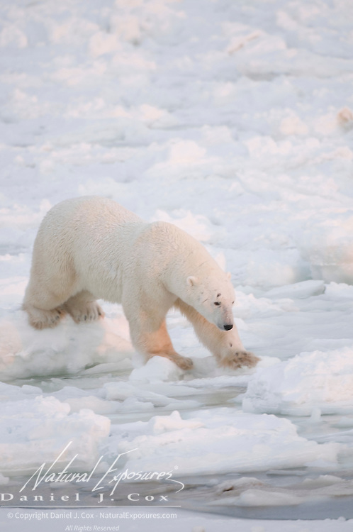 A polar bear moves quickly as he tests the newly formed ice off Cape Churchill, Manitoba, Canada.