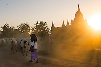 BAGAN, MYANMAR - CIRCA DECEMBER 2013: Farmers driving cattle back to their villages in the afternoon near Bagan in Myanmar
