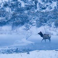 Rocky Mountain Elk (Cervus elaphus nelsoni) female crossing river in winter, Gardner River, Yellowstone National Park, Montana