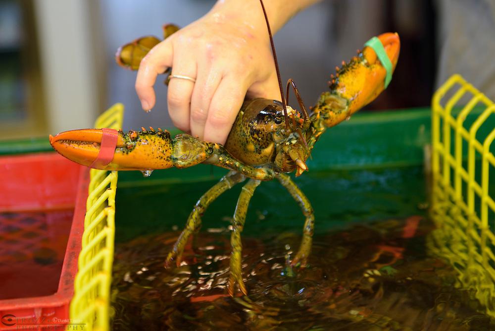 Fresh Maine lobster.