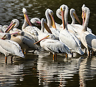 White pelicans in Baton Rouge.