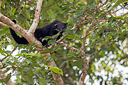 Binturong  (Arctictis binturong) looking for figs in the canopy of the rainforest in Deramakot Forest Reserve, Sabah, Borneo.
