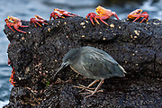 Lava heron (Butorides sundevalli) & Sally lightfoot crabs (Grapsus grapsus)<br /> Puerto Egas, Santiago Island, GALAPAGOS ISLANDS<br /> ECUADOR.  South America<br /> ENDEMIC TO THE ISLANDS<br /> These herons feed in the characteristic fashion of a 'sit and wait' predator. They eat small crustaceans like Sally lightfoot crabs. They lay one egg in a rocky crevice or in mangrove strands.<br /> Sally Lightfoot crabs are the scavengers of the coast. They feed on anything from sealion placenta to other crustaceans. They play an important role in keeping the shores clear of organic detritus.<br /> Santiago (James Island) Galapagos Islands