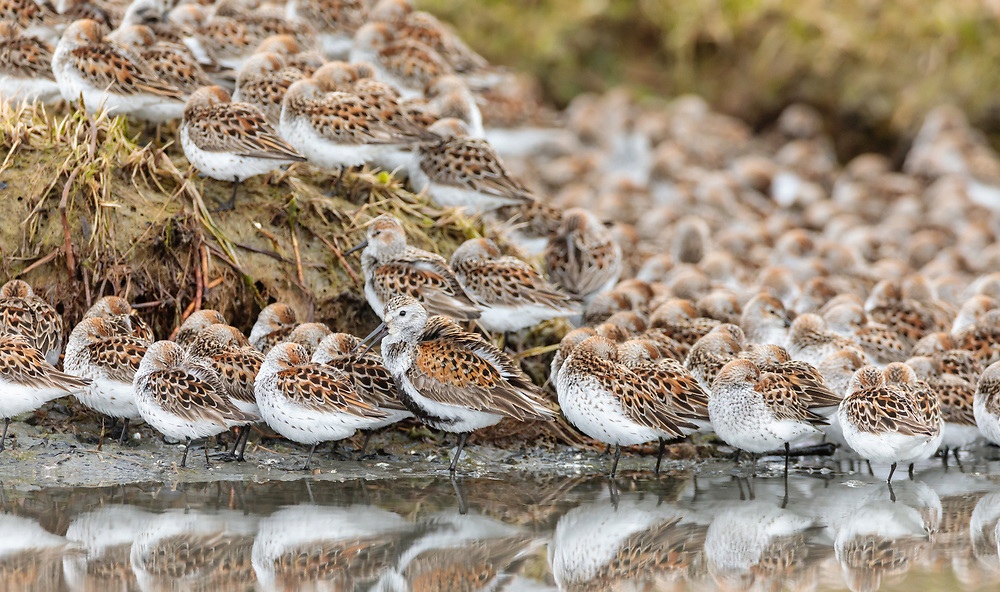 Lone Dunlin (Calidris alpina) among Western Sandpipers (Caldris mauri) resting at Hartney Bay in Cordova in Southcentral Alaska. Spring. Morning.