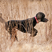 Photography was made during field practice in late Winter. The temperature was a warm 56 degrees in WI. Practice took place at West Allis Training Kennel Club, in Big Bend, WI on Mar 5, 2017.