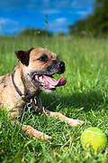 Border Terrier dog puffed out and panting after chasing tennis ball in the United Kingdom