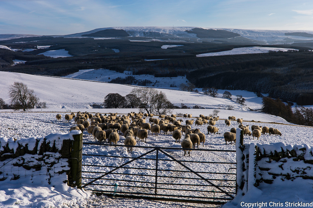 Falside, Chesters, Hawick, Scotland, UK. 17th January 2016. Suffolk cross ewes are scanned for lambs in order to forecast the birth rate for the forthcoming lambing season at a farm in the Scottish Borders.