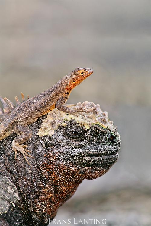 Lava lizard, Tropidurus albemarlensis, perched on marine iguana, Amblyrhynchus cristatus, Galapagos Islands