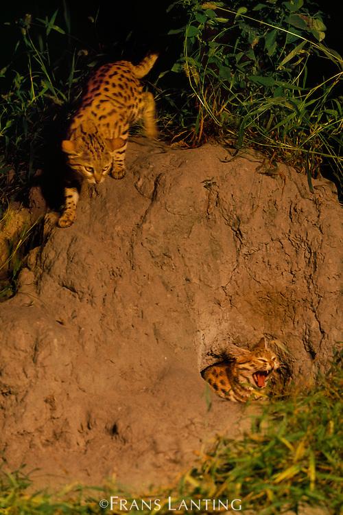 Black-footed cats at burrow, Felis nigripes, Okavango Delta, Botswana