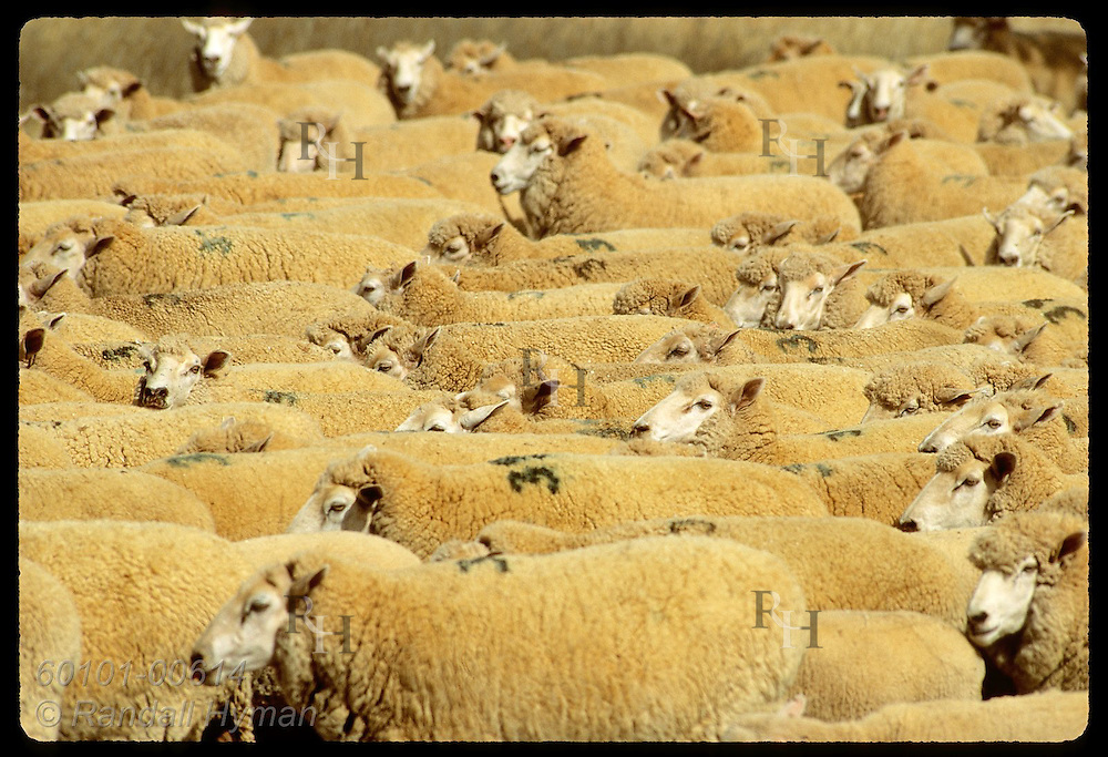 Sheep file along in tight formation as they are herded on farm in Coolamon, New South Wales. Australia