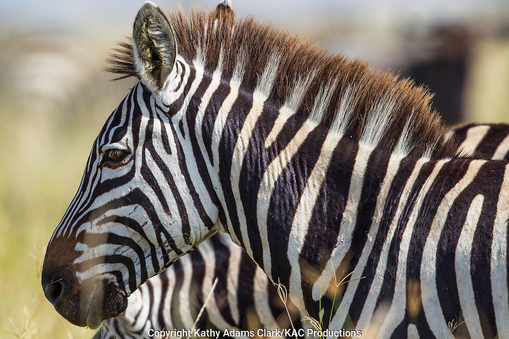 Plains zebra, also called Burchell's zebra, Equus quagga,  Serengeti, Tanzania, Africa.