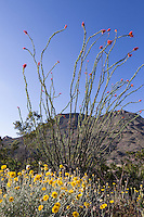 Ocotillo and Desert Marigold at Big Bend Ranch State Park, Texas