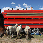 Horses rest behind the scenes during the 50th Anniversary Glenorchy Race meeting. The races, which originally started in the 1920's, were resurrected in 1962 and have been run by local farmers and the rugby club on the first Saturday after New Years Day ever since. Glenorchy, Otago, New Zealand. 7th January 2012